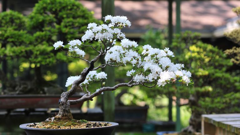 Bonsai tree in blossom
