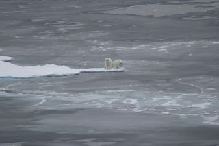 Polar bears along sea ice in the Arctic Ocean on Sept. 1, 2008.