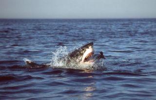 animals, oceans, animal attacks, shark attacks, shark kills human, Australian rogue shark, jaws like shark attacks, rogue sharks kills human, are rogue sharks real, higher rate shark attacks, increasing shark attacks,