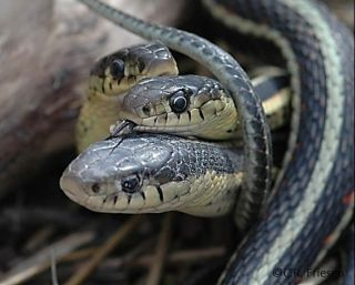 A male garter snake flicks its tongue on another snake in order to detect pheromones and determine whether or not it's a female.