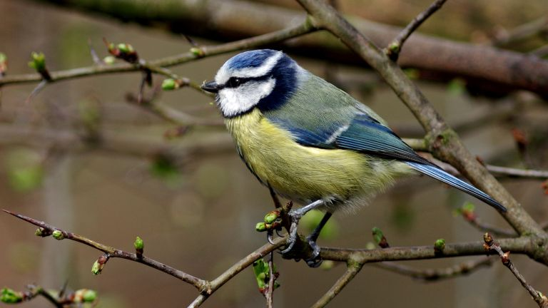 blue tit in the garden