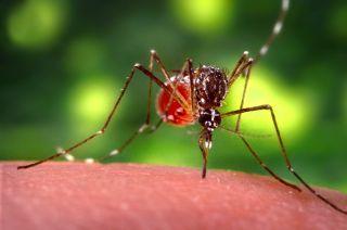 zika, mosquito, aedes aegypti