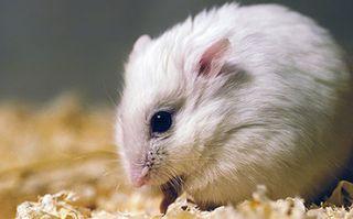 Winter white Russian dwarf hamster.
