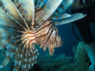 a red lionfish