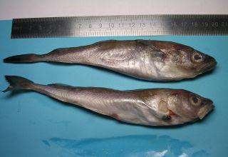 shrinking cod