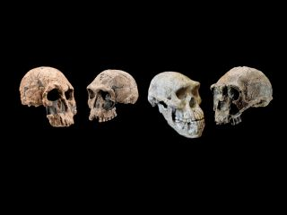 the skulls of three early human species, including Homo rudolfensis, Homo habilis and Homo erectus,