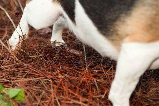 A beagle urinates