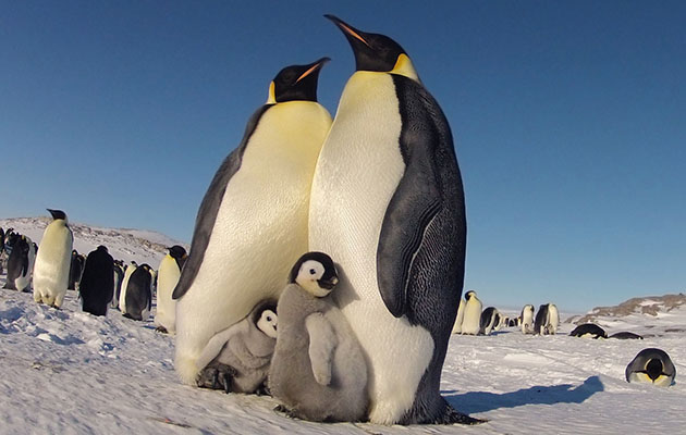 Birds of a feather huddle together. Emperor penguins with their chicks in Antarctica.