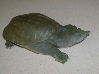 Chinese soft-shelled turtle that pees from its mouth