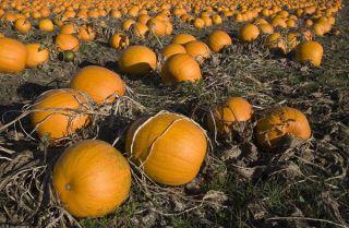 pumpkin-patch-111021-02
