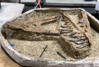 The remains of what is likely a juvenile T. rex were discovered in Montana's Hell Creek formation.
