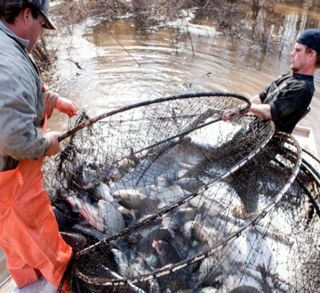Fishermen catching Asian carp