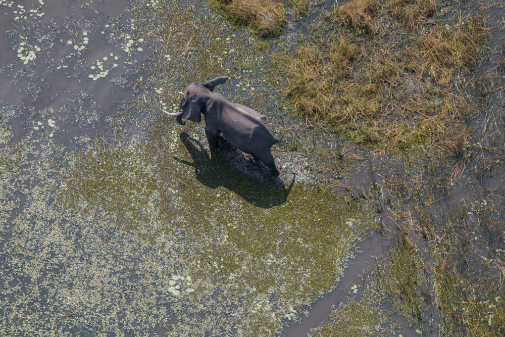 A single elephant is photographed from an aerial survey.