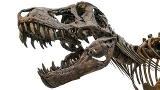 A T. rex skull displays the dinosaur's powerful jaws and teeth.