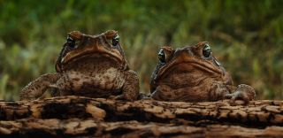 Cane toad, invasive species