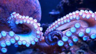 an octopus closeup shown in glowing bluish light