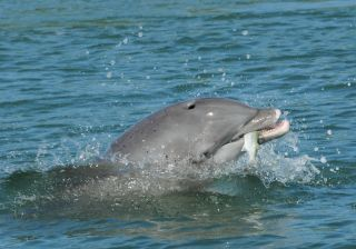 A bottlenose dolphin grasps a fish in its mouth