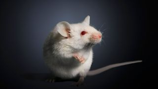 mouse holding onto its own front paws, ears perked up