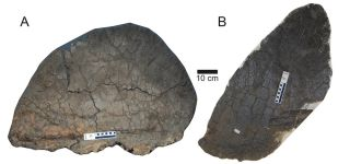Stegosaurus male and female plate