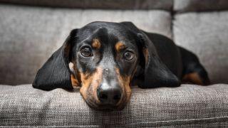 dog flu los angeles: Image of dog feeling poorly