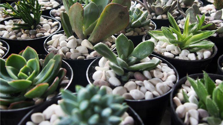 Mini succulents planted in decorative pebbles
