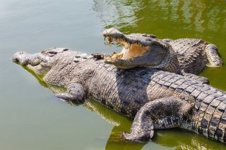 Crocodiles: Facts & Pictures | Live Science