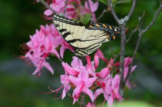 animals, insects, evolution, butterflies, speciation, new species, hybrid species, hybrid butterfly, tiger swallowtail, Appalachian tiger swallowtail, Canadian tiger swallowtail, Eastern tiger swallowtail,