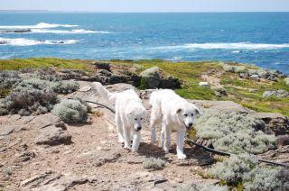 Maremma sheepdogs