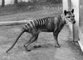 A Tasmanian tiger.