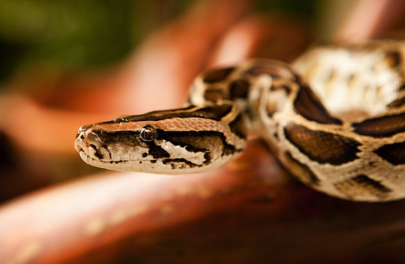Python Facts Live Science