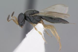 "This newfound parasitoid wasp was named <em>Phanuromyia odo</em> after a Changeling character, Odo, in ""Star Trek: Deep Space Nine."""