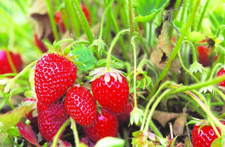 strawberry companions plants