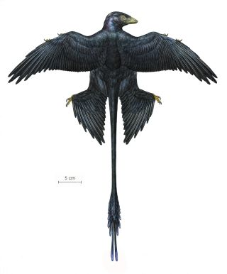 Reconstruction of the dinosaur <i>Microraptor</i>, an iridescent black color, with four wings and an elongated tail with decorative feathers.