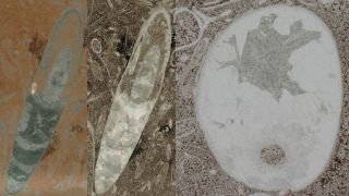 Lengthwise (left, middle) and cross-sectional (right) views of the fossil remains of what may be the oldest cephalopod on record.