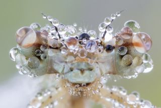 Dragonfly (<em>Platycnemis pennipes</em>) covered in dew drops.