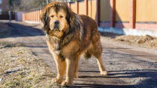Tibetan Mastiff in a back yard