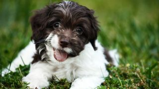 Most popular puppy names - puppy lying on the grass with it's mouth open showing tongue