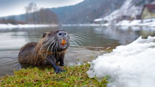 Nutria in the snow.