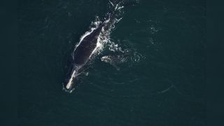 A photograph of the whale calf believed to have been killed, taken while it was still alive with its mother.