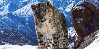 Snow Leopard Planet Earth 2 The BBC