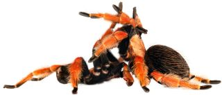 Mexican fire leg tarantulas mating