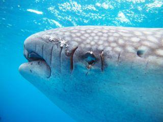 Fermin the whale shark injured.