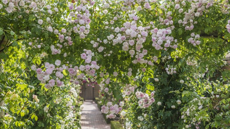 best screening plants - Belvedere rambling rose from David Austin Roses growing over a pergola
