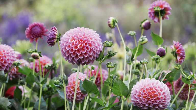 How to grow dahlias: Pom pom dahlias