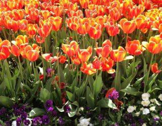 tulips, record pollen count, what is behind record pollen numbers, what is causing allergies this year, 2012 allergy season, early spring