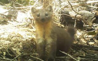 The Humboldt marten