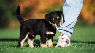 How to train a puppy not to bite: Puppy biting the bottom of man's jeans