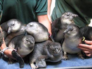 penguin-chicks-101119-02