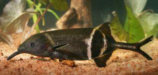 The elephantnose fish