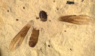 Big-Headed Fly Fossil